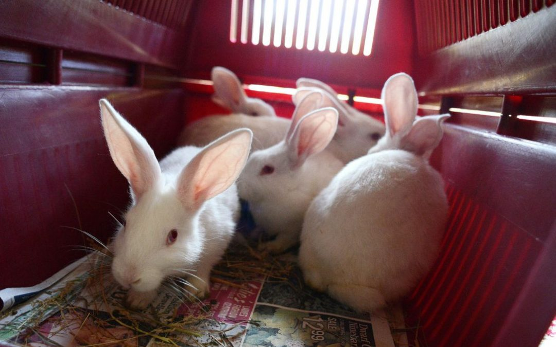 NGO appeals to government to support rabbit production